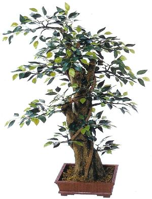 33 inch mini ficus bonsai in pot